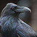 Common Raven Portrait no. 1, Yellowstone National Park 2016 by Darren P Clark