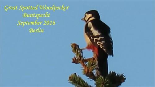Great Spotted Woodpecker/Buntspecht/ Dendrocopus major