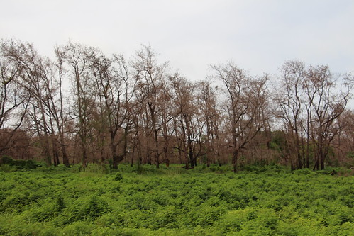rota wildfire mimosa mimosainvisia casuarina casuarinaequisetifolia