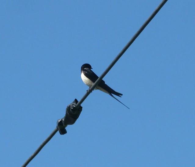 Svala, swallow, Hirundinidae. Angered, Canon POWERSHOT G9
