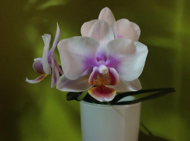 Floraison des orchidées de juin à........... 20388157019_cfcdc87f6a_z