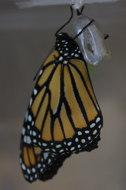 holding on tight to the chrysalis, wings smooth