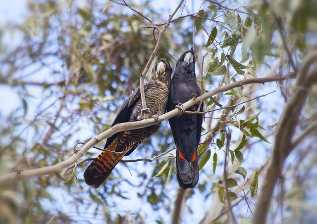 Male & Female Red tail Black Cockatoo's, Perth Western Australia