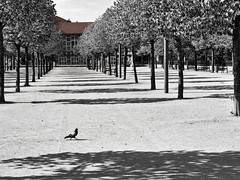 Au rythme du pigeon... at walking pace of the pigeon... #Darktable #OlympusE-M10