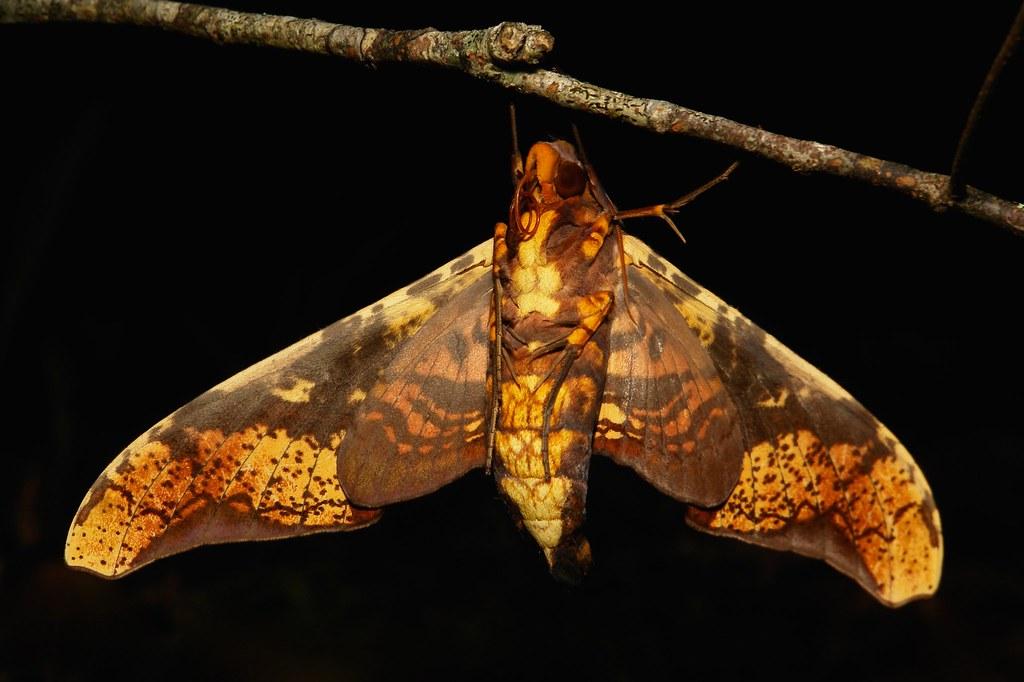 Mango Hawk Moth (Amplypterus panopus, Sphingidae)