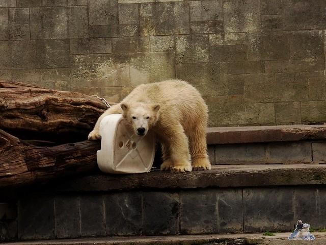 Eisbär Fiete im Zoo Rostock 19-09.2015 Teil 3  030