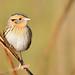 Le Conte's Sparrow by malcolmgold