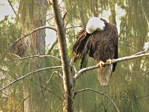 Bald Eagle female preening 20151025