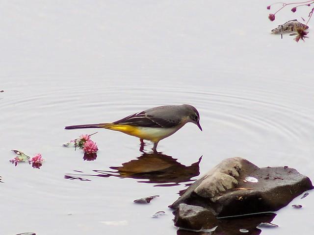 Grey wagtail (キセキレイ)