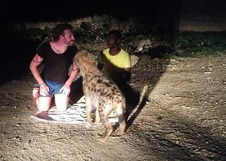 Hyena feeding.