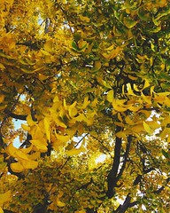 Met a gingko tree that stopped me dead in my tracks during a morning stroll. :yellow_heart::deciduous_tree: