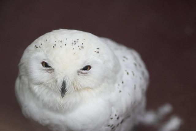 シロフクロウ / Snowy owl