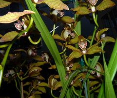 Cymbidium Moira 'Del Norte' fragrant hybrid orchid 11-15