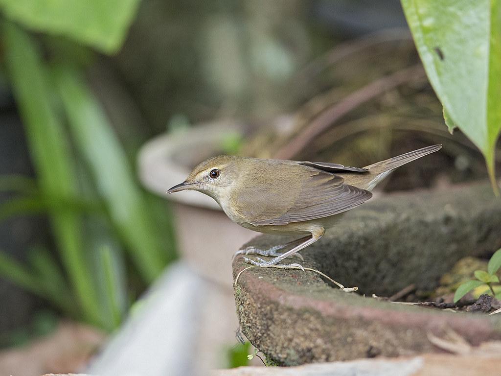 Blythe's Reed Warbler  Sri Lanka
