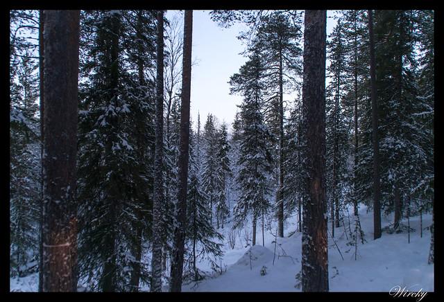 Laponia Tankavaara aurora boreal - Bosque nevado