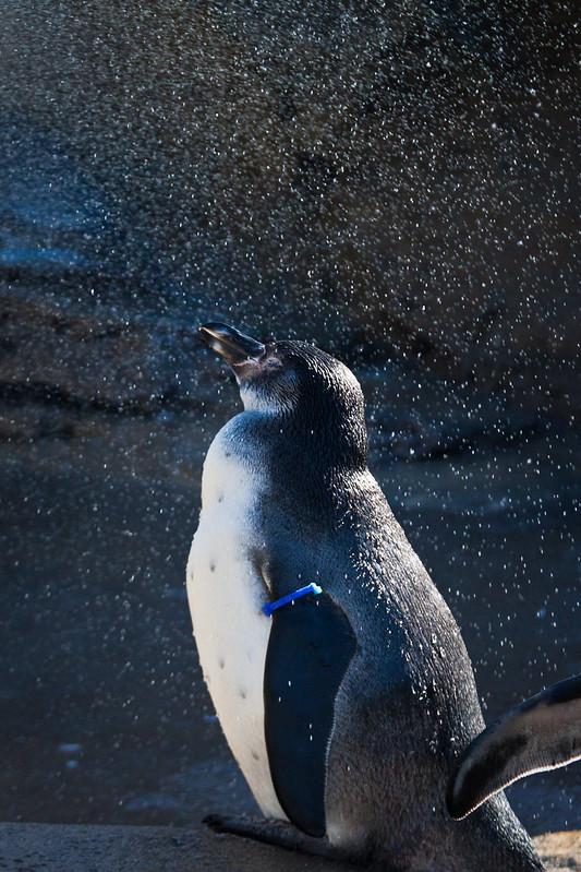Penguin enjoying a cool shower