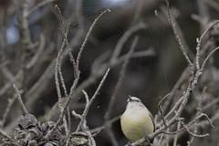 Yellow - rumped Thornbill  ( the web )