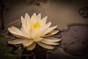 Water lily on Paradox Lake, ADK by Christy Hibsch ( Christy's Creations on Facebook )