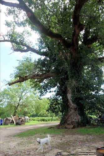 Old oak tree - Chêne remarquable (2/4)
