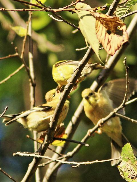 American Goldfinch feeding fledglings 2-20150921