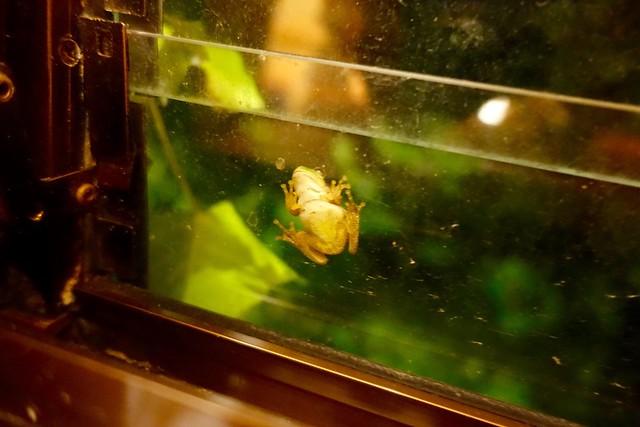 Photo:窓に張り付くカエルさん @『ひなの宿 ちとせ』(新潟県十日町市松之山) By TOMODA