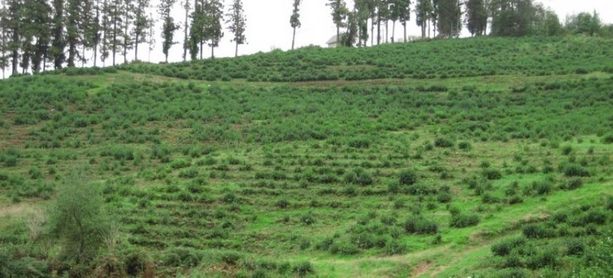 Британцам советуют побывать на чайных плантациях Дагомыса