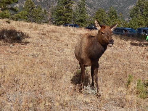 Rocky Mountain NP - elk baby met wildlife file