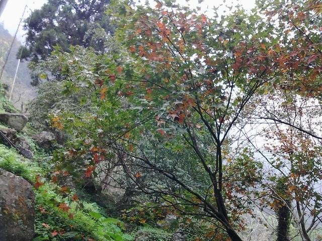 溪頭的楓葉67
