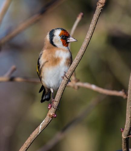 Goldfinch 025 (12)