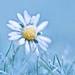 Little Frozen Daisy - (Explore 5/12/2015 :)) by paulapics2