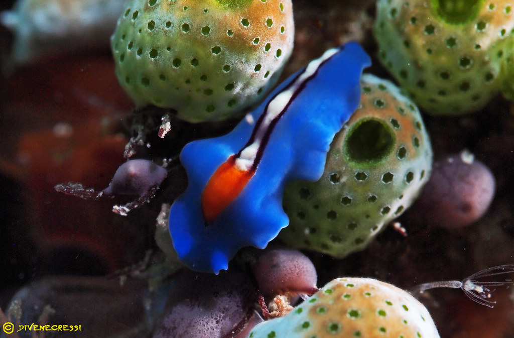 Pseudocerus bifurcus