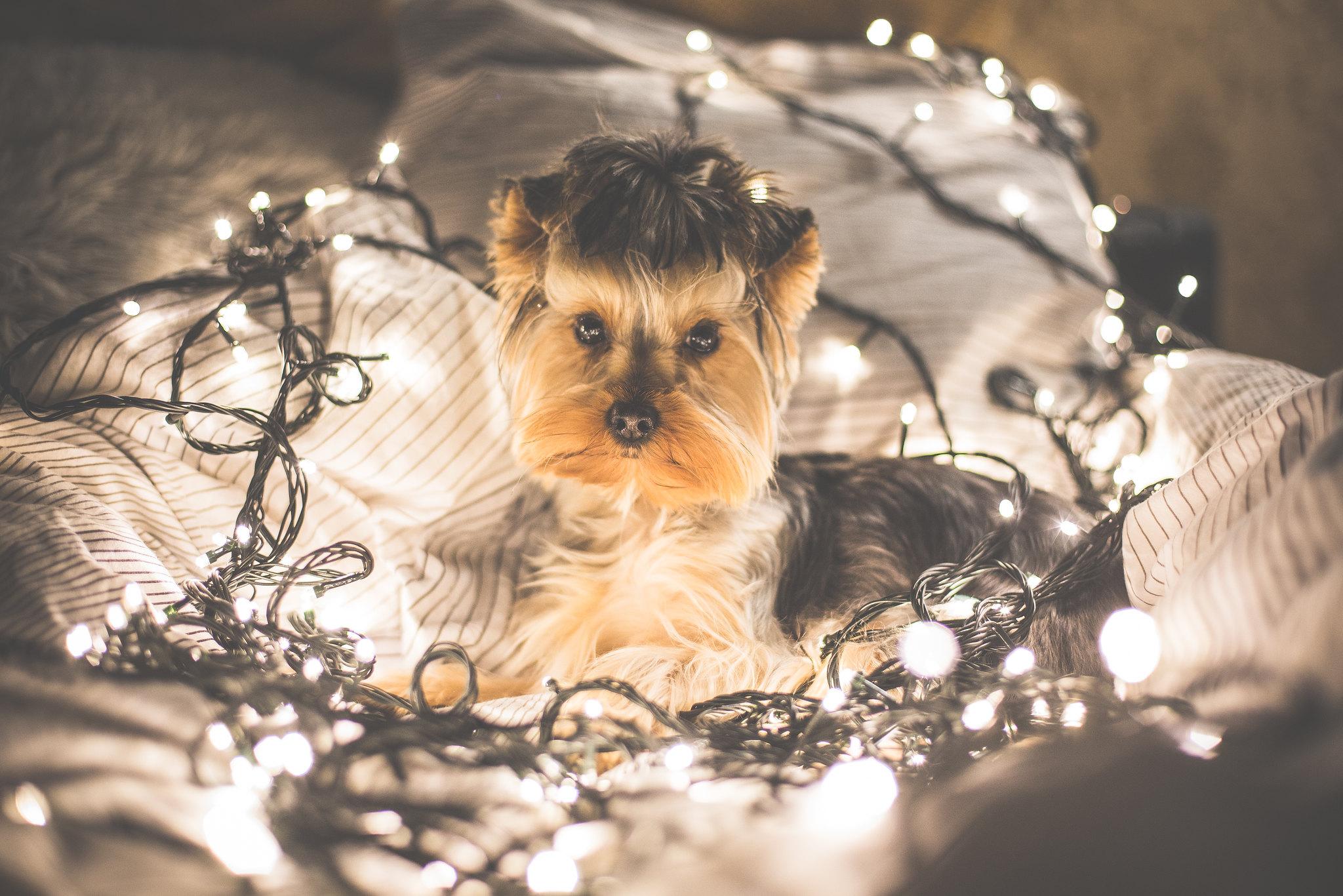 Tumblr Fondos De Pantalla De Navidad: Imagen De Un Perro Yorkshire Con Luces