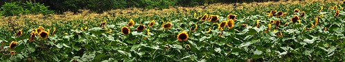 professorbop drjazz sunflowers field stoningtonconnecticut summer nature olympusem1 mosca panorama