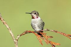 Calypte anna (Anna's Hummingbird) - Everett WA