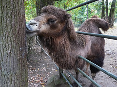 Zoo Brno: Koušou velbloudi, nebo nekoušou?