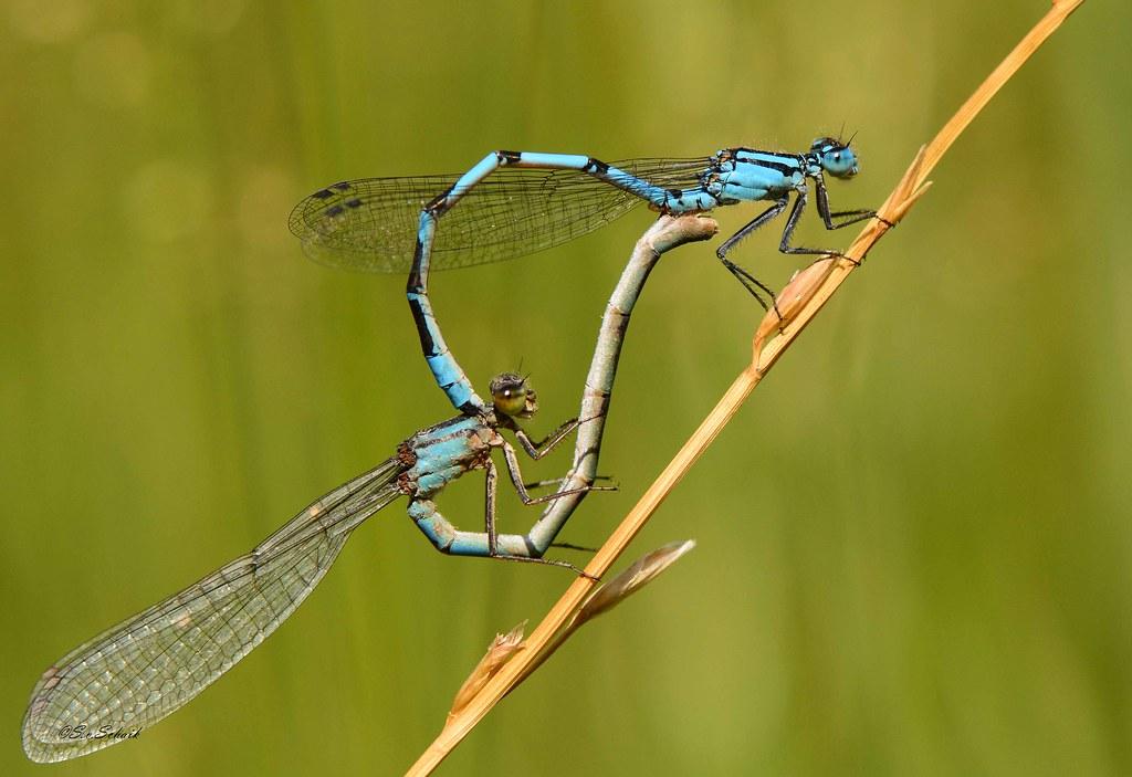 Common Bluet - Enallagma cyathigerum