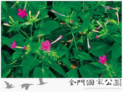 紫茉莉-01