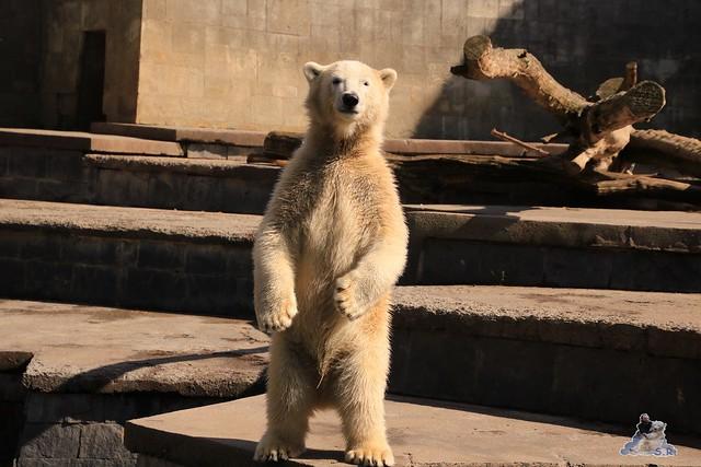 Eisbär Fiete im Zoo Rostock 06.09.2015  0200