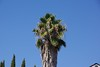 This is a very tall California Fan Palm, also know as Desert Fan Palm that the owner forgot to maintain.