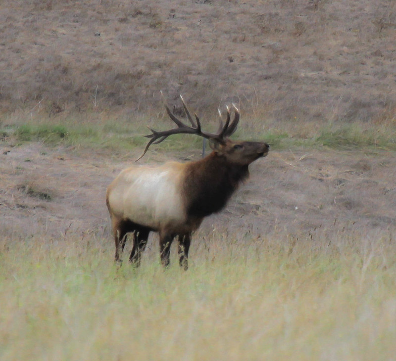 Tule Elk at Arroyo del la Cruz Creek