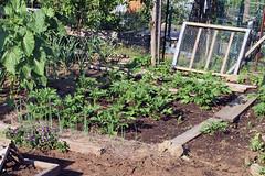 2015-06-22 potatoes growing IMG_2052