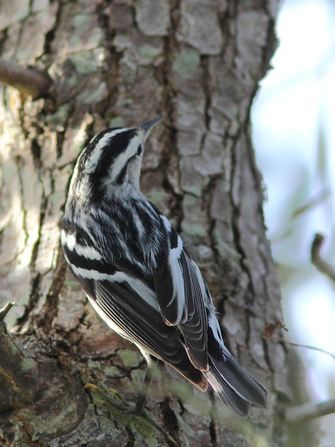 Black-and-White Warbler 2-20151015