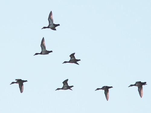 Ducks Flock 04-20151113