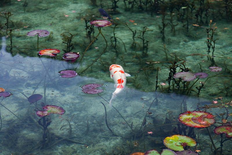 岐阜関市 モネの池 Monet's pond