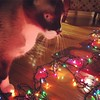 The #siamesecat is helping. #Cats love decorating.