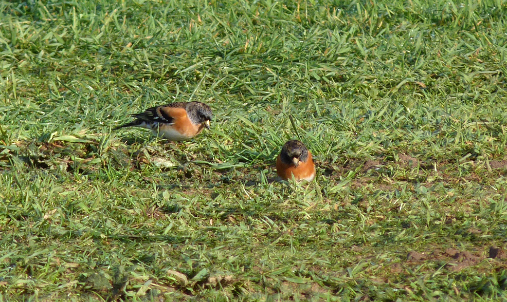 Bramblings Flam 29Oct15 a