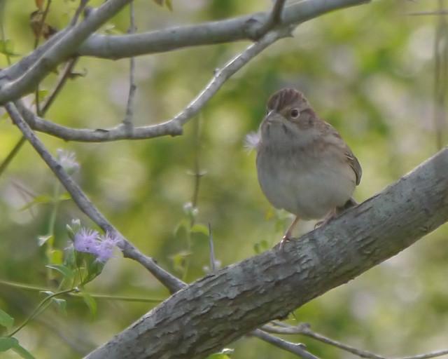 Cassin's Sparrow - 2
