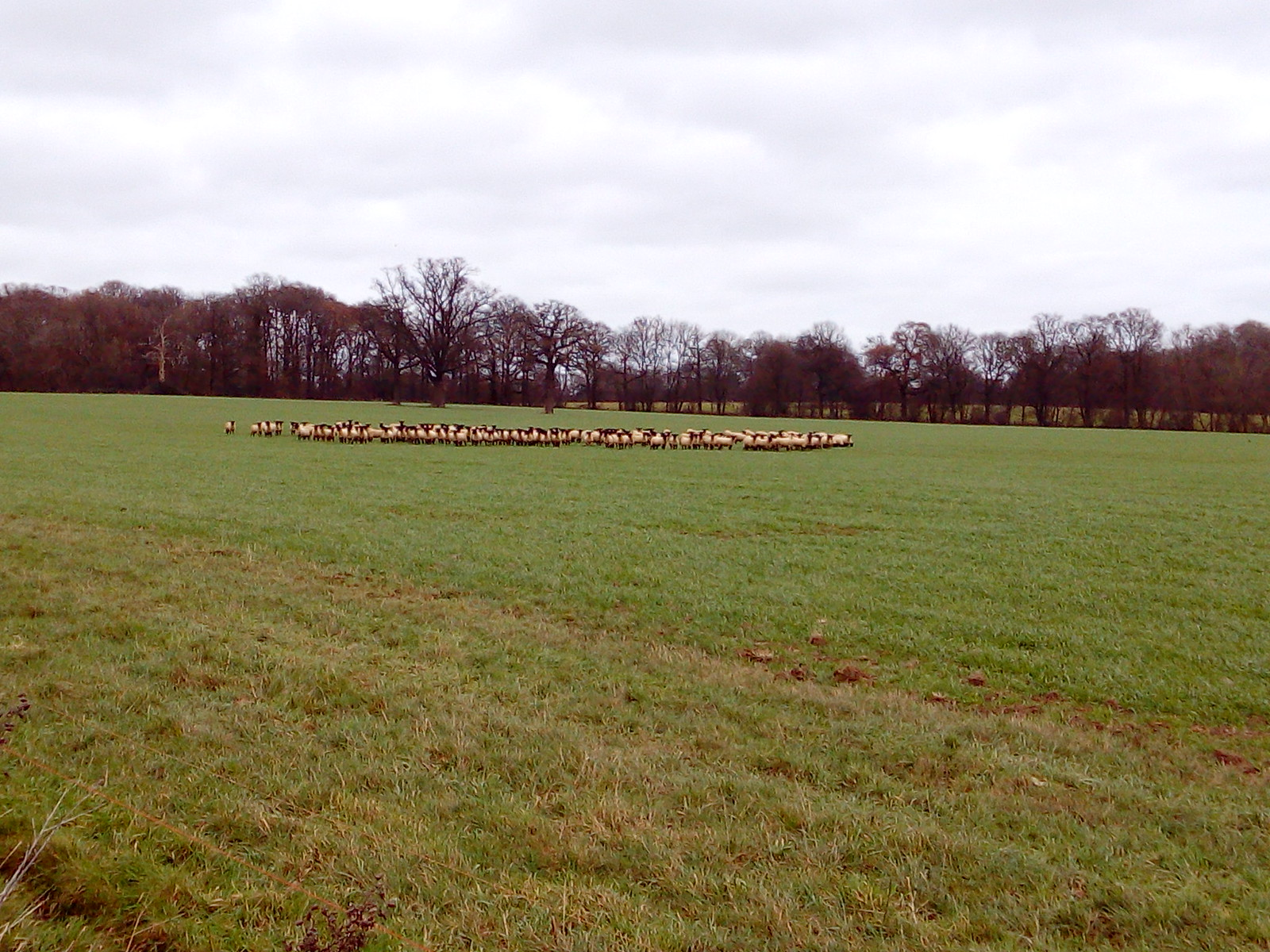 Clustered Sheep Unusal sheep formation - Leigh to Sevenoaks