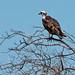 Osprey (Pandion haliaetus)_DSC3951e por Dave Krueper