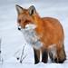 Red Fox vixen by Tim Harding